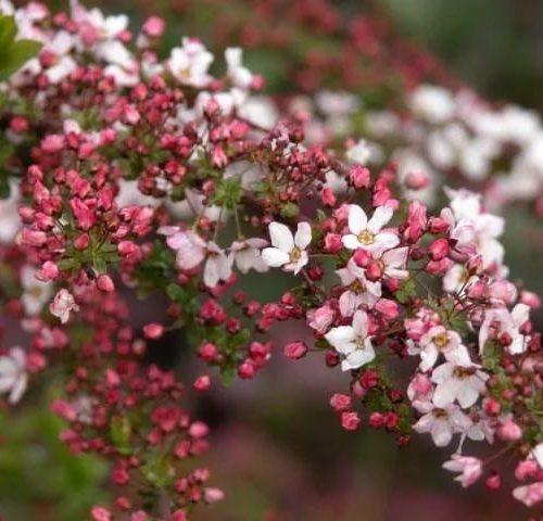 Спирея fujino pink