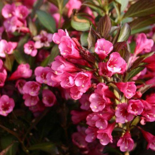 Вейгела цветущая alexandra