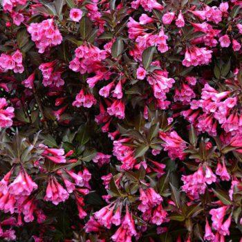Вейгела цветущая alexandra-1