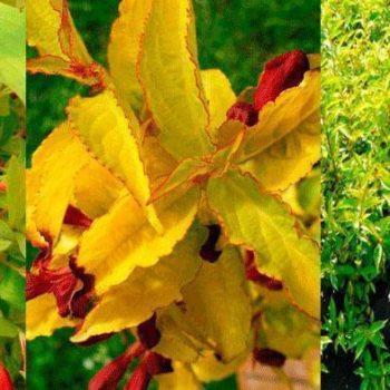 Вейгела цветущая aurea-2