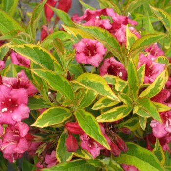 Вейгела цветущая brigela-2