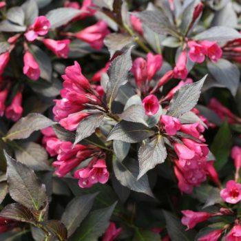 Вейгела цветущая elvira-1