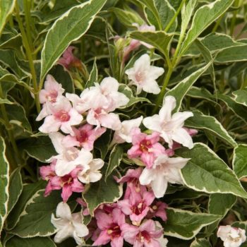 Вейгела цветущая kolsunn-1