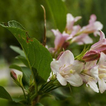 Вейгела цветущая kolsunn-2