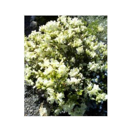 Вейгела цветущая kolsunn