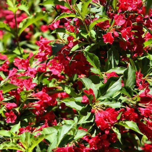 Вейгела цветущая little red robin