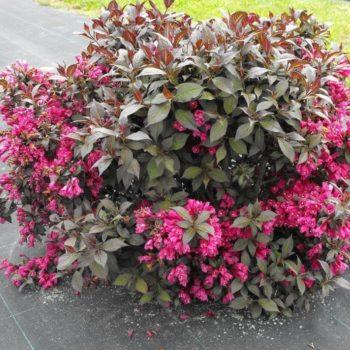 Вейгела цветущая minor black-1