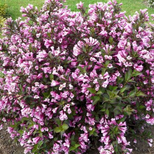 Вейгела цветущая nana purpurea