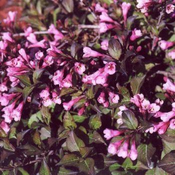 Вейгела цветущая nana purpurea-1