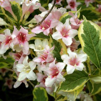 Вейгела цветущая nana variegata-2