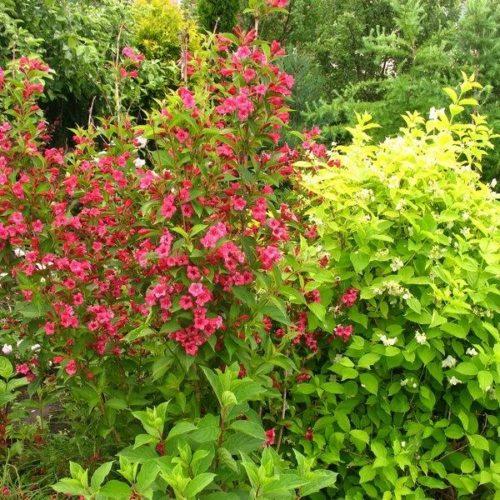 Вейгела цветущая newport red
