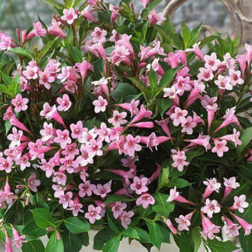 Вейгела цветущая pink poppet