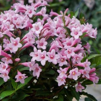 Вейгела цветущая pink poppet-1