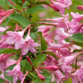 Вейгела цветущая pink princess