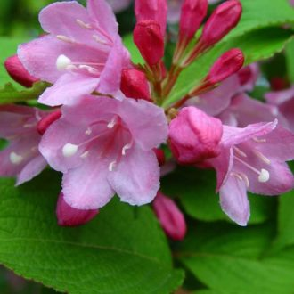 Вейгела цветущая plangeri