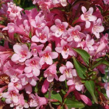 Вейгела цветущая plangeri-1