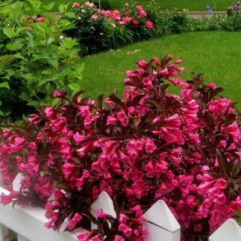 Вейгела цветущая purpurea-1