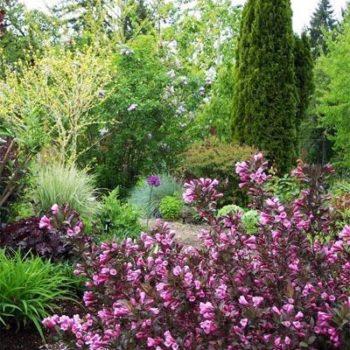 Вейгела цветущая purpurea-2