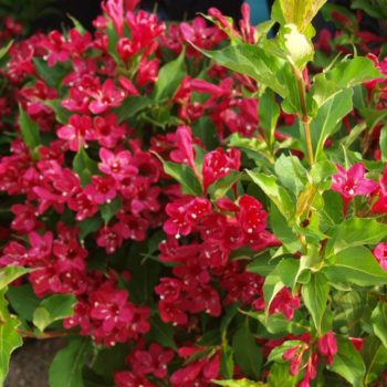 Вейгела цветущая red prince-2
