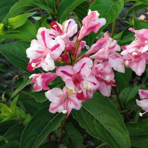 Вейгела цветущая rosea