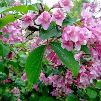 Вейгела цветущая rosea-1