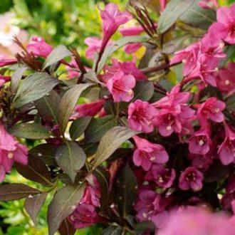 Вейгела цветущая rubidol