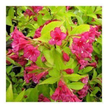 Вейгела цветущая rubidol-2