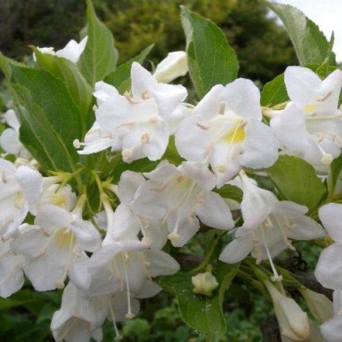 Вейгела цветущая snowflake