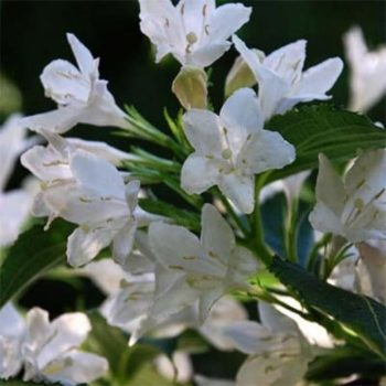 Вейгела цветущая snowflake-1