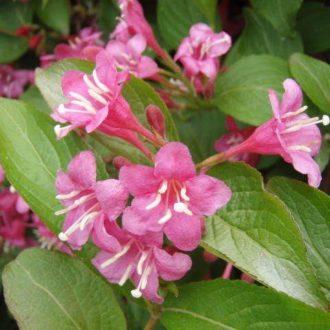 Вейгела цветущая styriaca