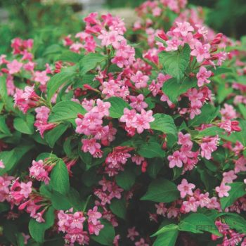 Вейгела цветущая styriaca-1