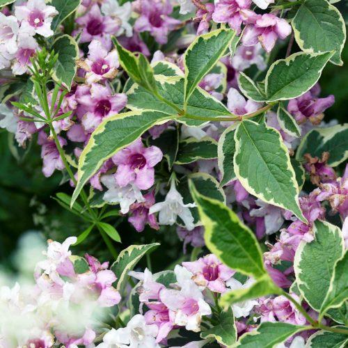 Вейгела цветущая variegata