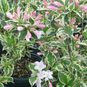 Вейгела цветущая variegata-2