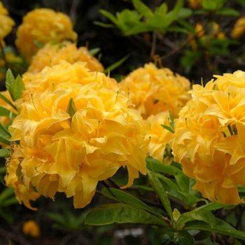 Азалия японская yellow pom pom-1