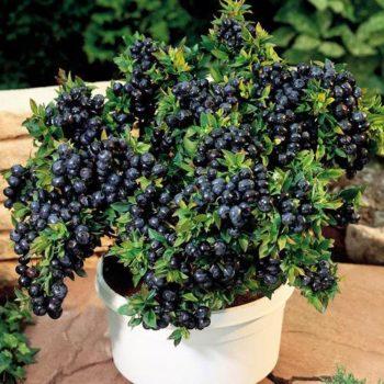 Черника садовая Топ Хат-2