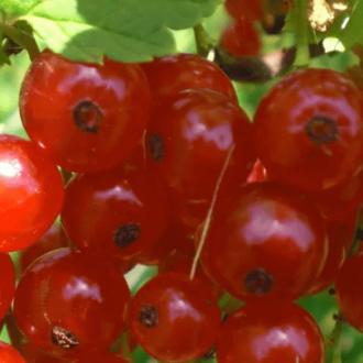 Смородина красная Троицкая