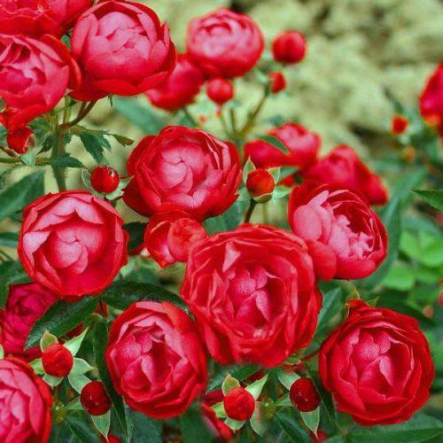 Роза бордюрная Гранатовый браслет