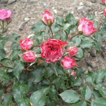 Роза бордюрная Гранатовый браслет-1