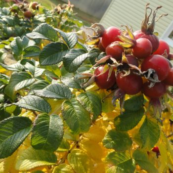 Шиповник Яблочный-1
