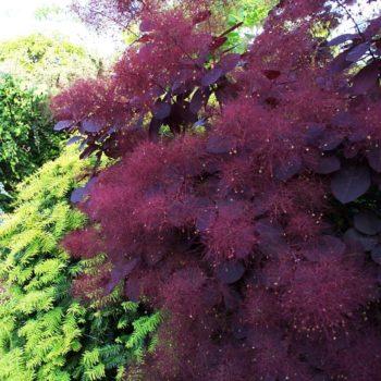 Скумпия кожевенная Роял Перпл (Royal Purple)-1
