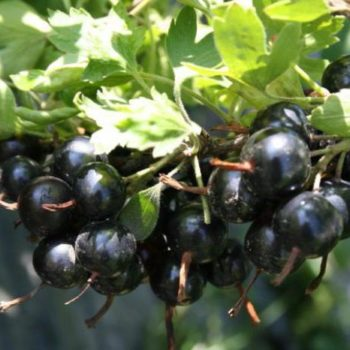 Смородина черная Черный жемчуг-2