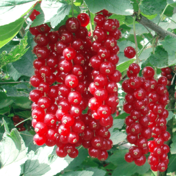 Красная смородина Джонкер Ван Тетс-2