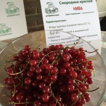 Смородина красная Нива-2
