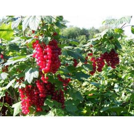 Смородина красная «Мармеладница»