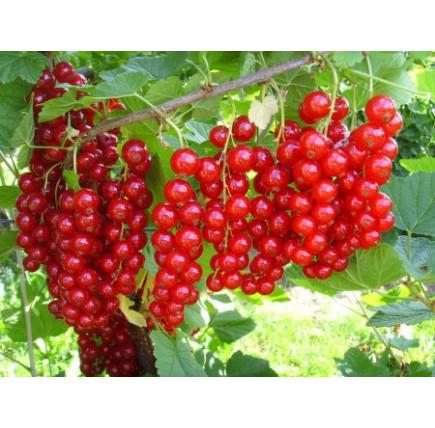 Смородина красная «Сахарная»