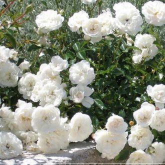 Роза бордюрная Сноу Балет