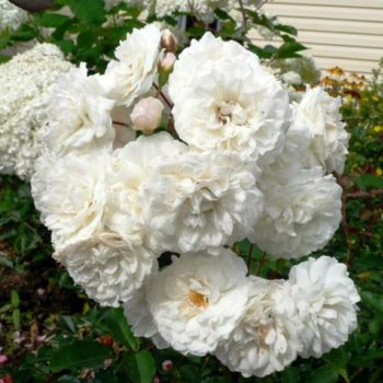 Роза бордюрная Сноу Балет-1