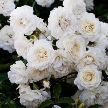 Роза бордюрная Сноу Балет-2