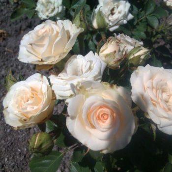 Роза бордюрная Сноу Денс-1