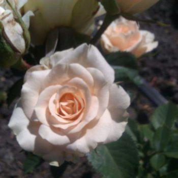 Роза бордюрная Сноу Денс-2